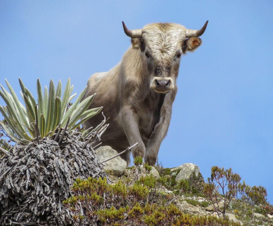 Charolais_cattle_Sierra_Nevada_Venezuela